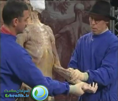 تشريح بدن انسان-عضلات فلکسور
